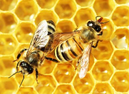 ubat kanser dari madu lebah