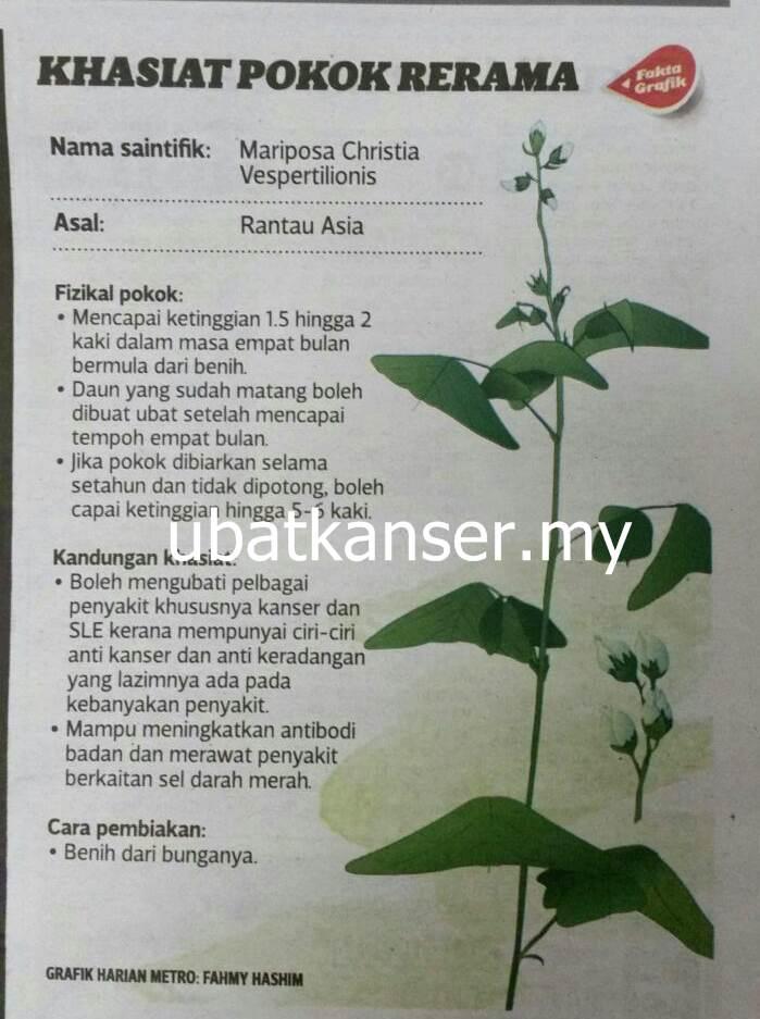 Khasiat Pokok Rerama _ubatkanser.my