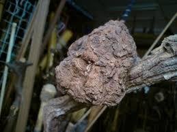 akar pokok dedalu penawar kanser