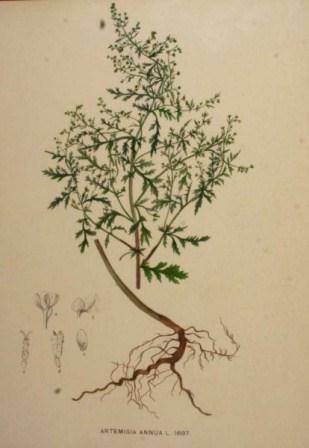 Pokok Herba Ini Membunuh 98 Sel Kanser Dalam Tempoh 16 jam sahaja