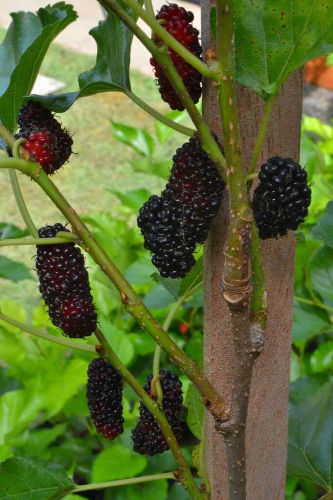 Pokok Buah Malberi